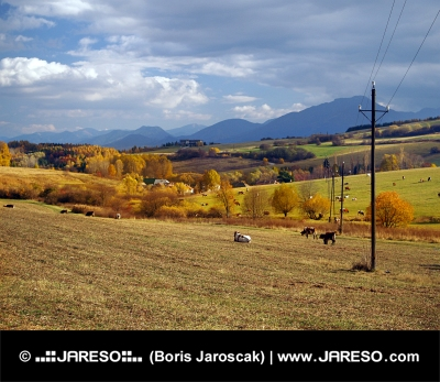 Krávy se pasou v blízkosti obce Bobrovník, Slovensko