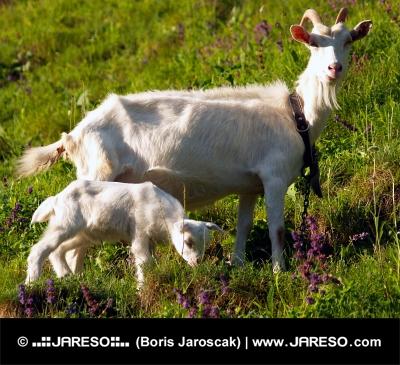 Koza a kůzle na louce