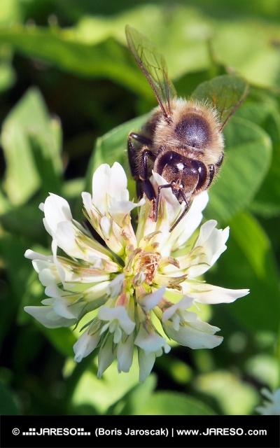 Včela opyluje květ