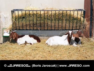 Kozy v ohradě