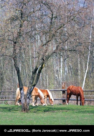 Koně se pasou pod stromem na ranči