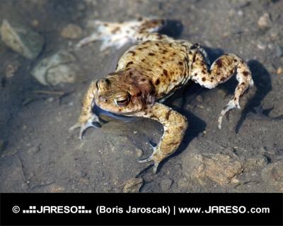 Detailní záběr na žábu ve vodě