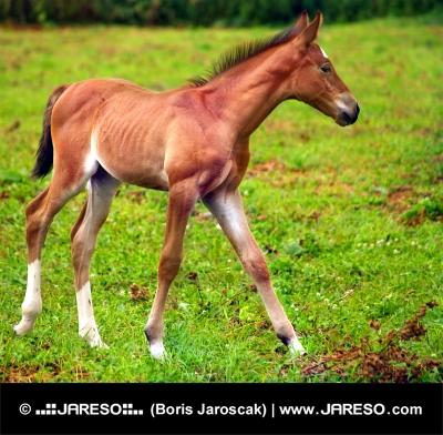 Mladý koník cválá na zelené louce