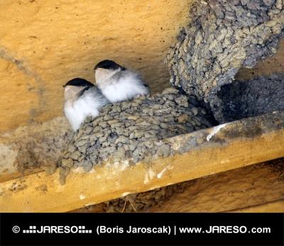 Dvě vlaštovky v hnízdě