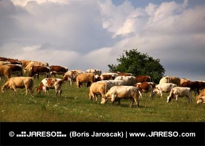 Krávy se pasou na louce