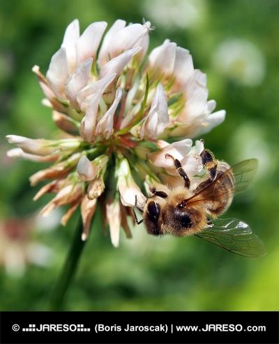Včela opyluje květ jetele