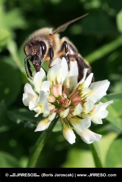 Evropská včela opyluje květ jetele