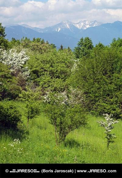 Vrcholky Roháčů a zelené stromy