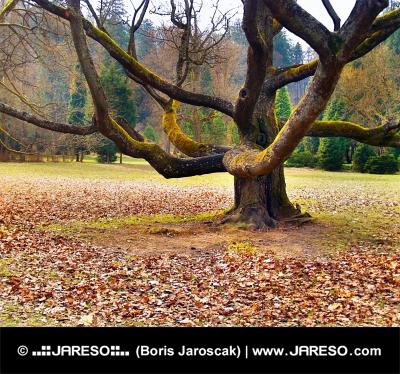 Masivní strom v parku