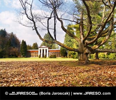 Masivní strom v parku a arboretum